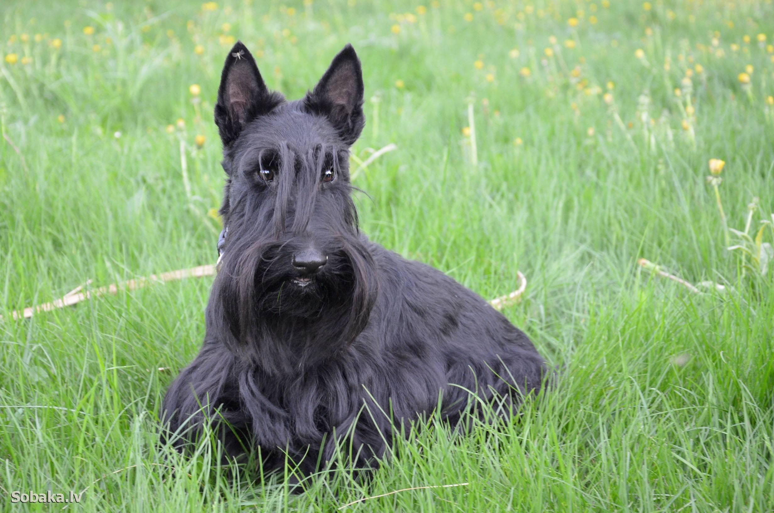 Порода собак шотландский терьер, или скотч терьер: фото, видео, описание породы и характер