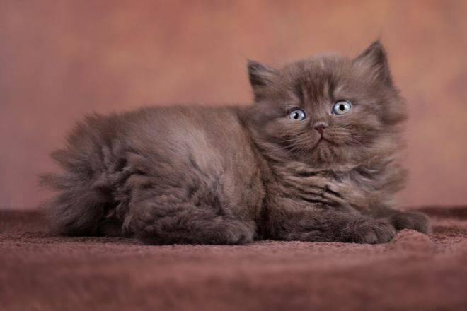 Кошки породы хайленд страйт — истинные шотландцы