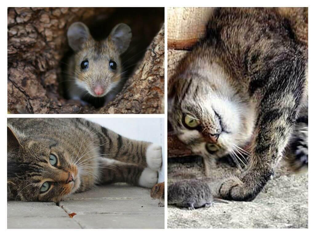 Характеристика самых лучших пород котов крысоловов с их фотографиями