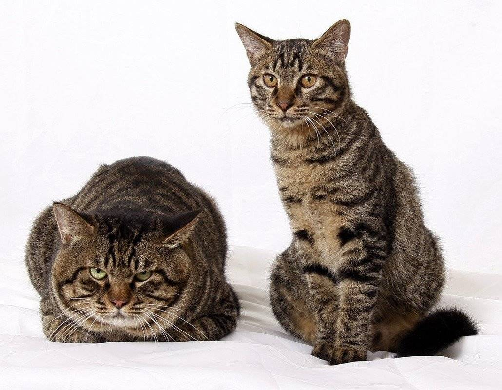 Китайская кошка танк (chinese tank cat)
