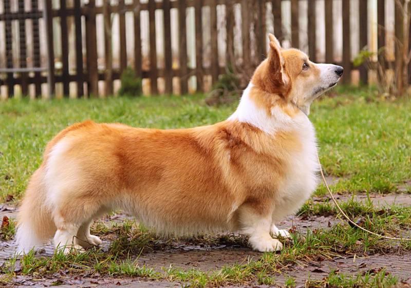 Вельш-корги кардиган: как выглядит на фото, описание породы и характера, а также отзывы владельцев о щенках блю-мерль
