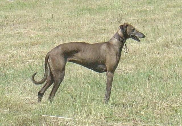Афганская борзая: собака-«аристократ» с необычной внешностью