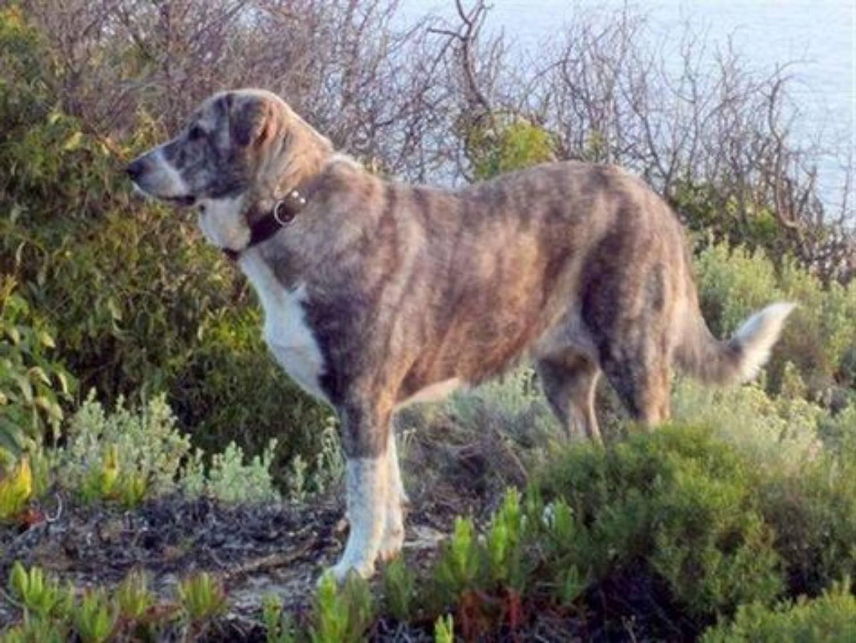 Малый португальский поденгу: описание, характеристика, фото | все о собаках