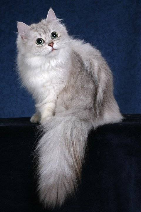 Описание и содержание кошек породы тиффани