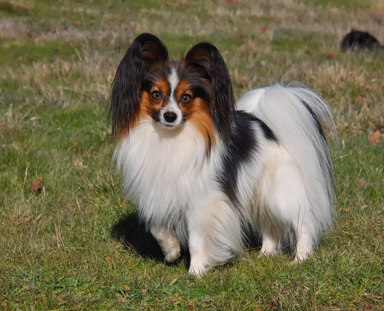 Папильон и фален. о породе собак: описание породы папильон и фален, цены, фото, уход