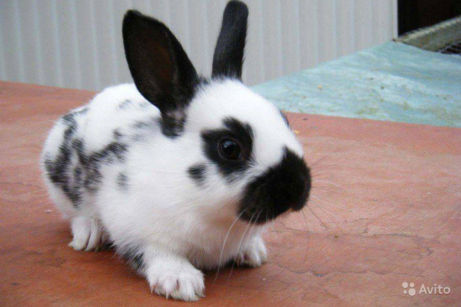 Кролики породы бабочка: получится ли разводить без хлопот?