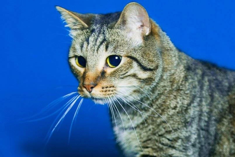 Кельтская кошка. описание, особенности, уход и цена кельтской кошки
