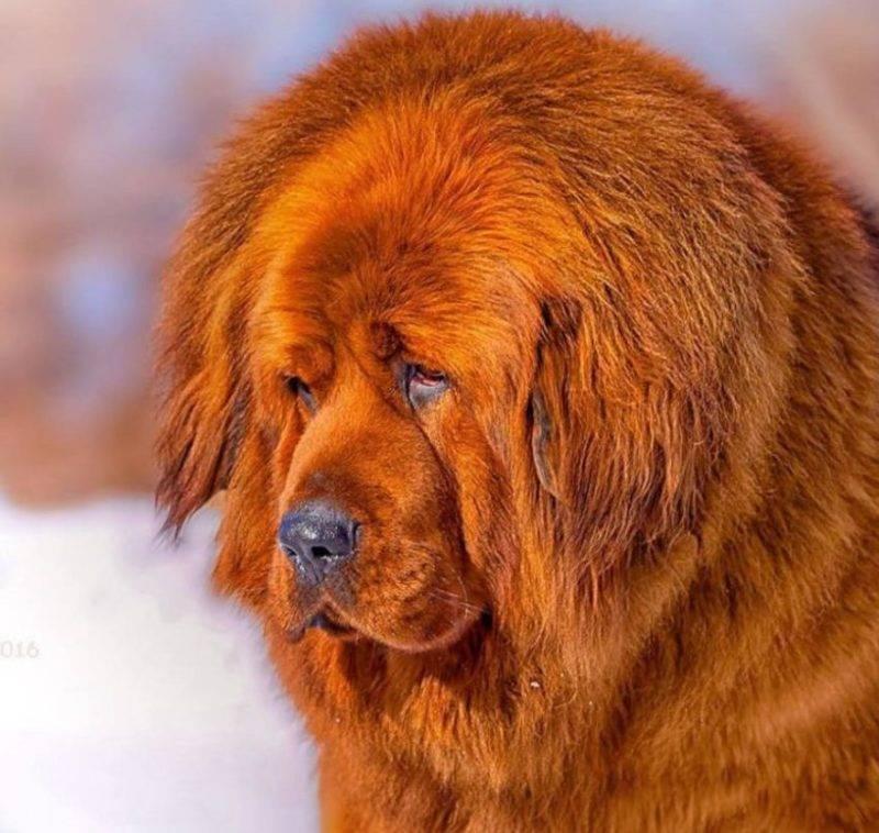 Крупные породы собак. описания, названия и фото собак крупных пород   животный мир