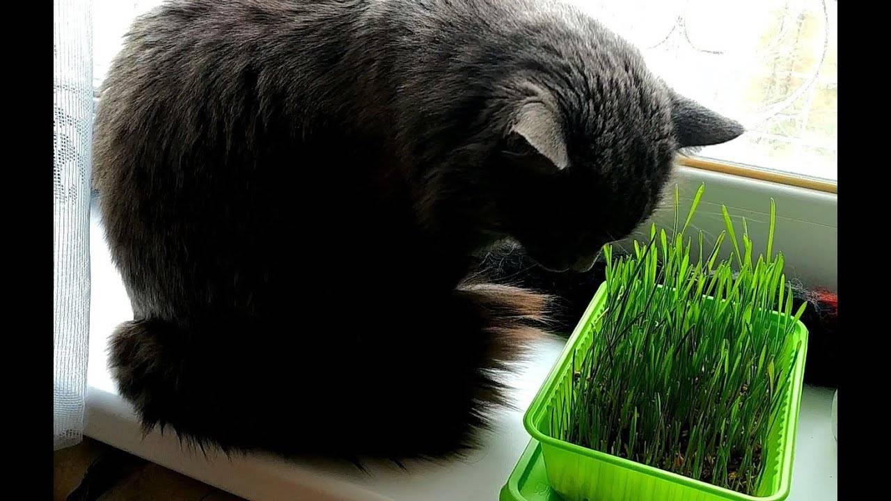 Зачем кошкам нужна трава?