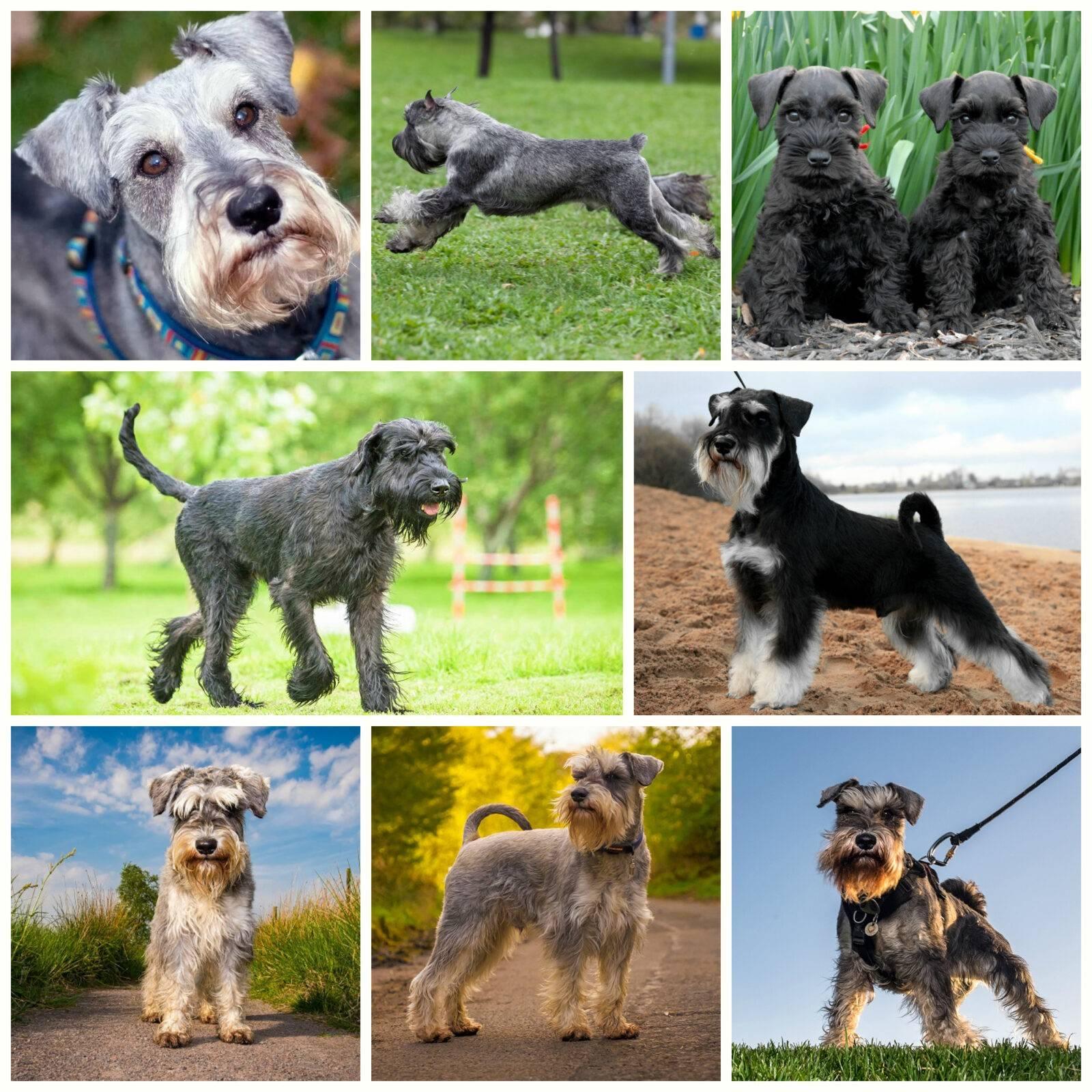 Шнауцер (собака): все виды породы и их описание