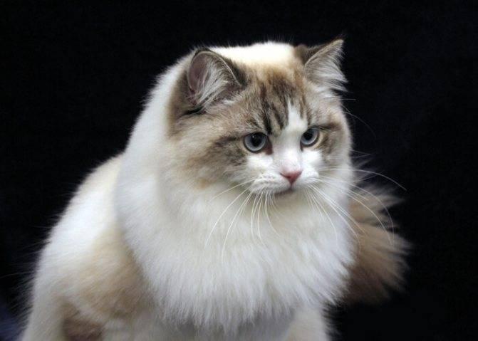 Все что нужно знать о породе кошек рагамаффин: внешний вид, характер