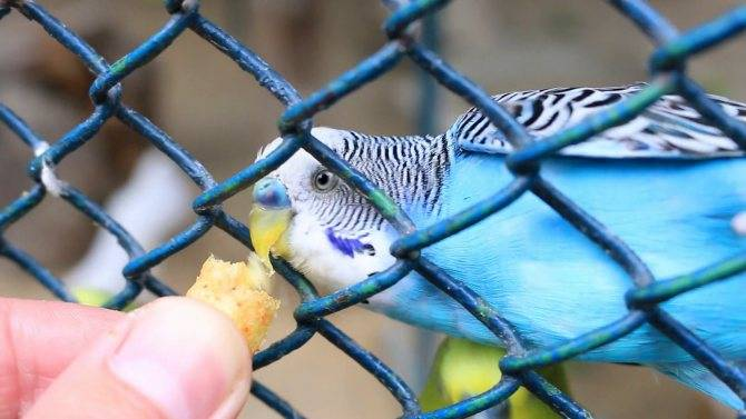 Как научить попугая разговаривать за 5 минут в домашних условиях