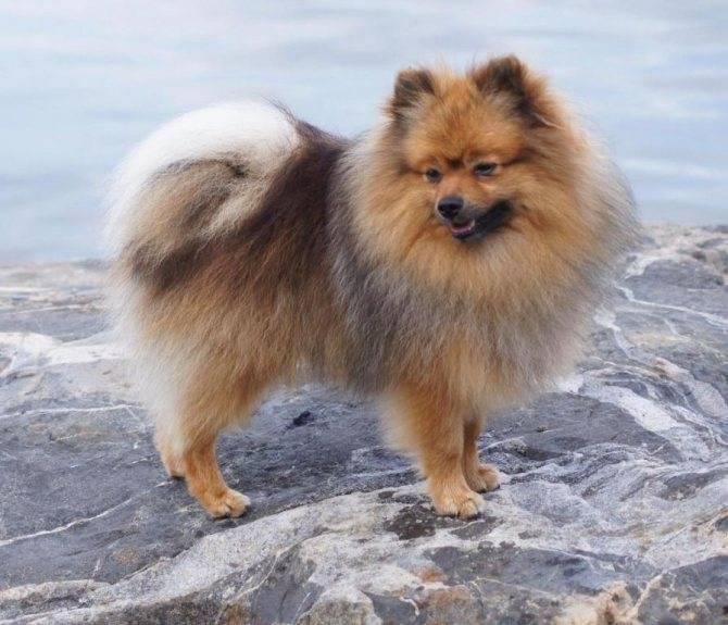 Собака немецкий (померанский) шпиц