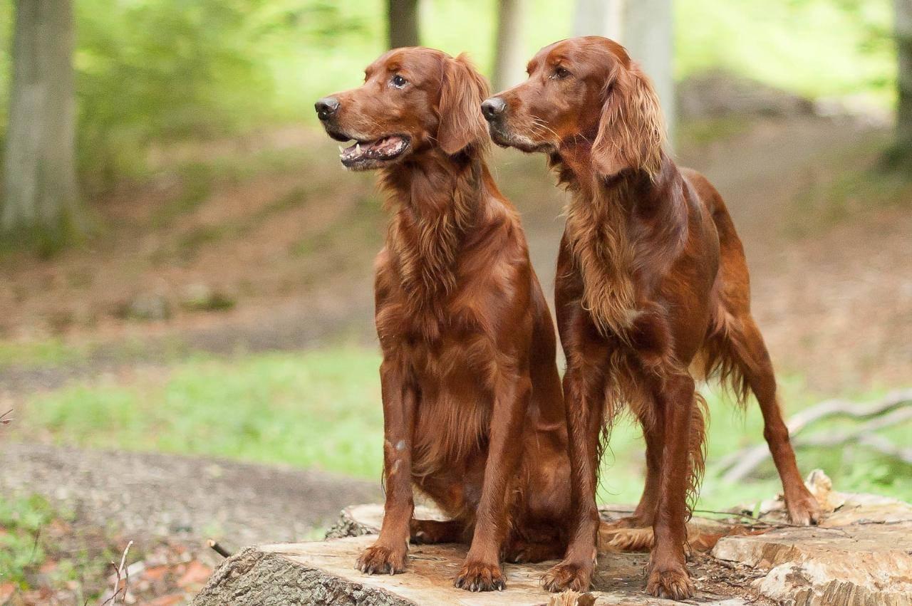 Ирландский красный сеттер - все о собаке от а до я. топ-100 фото чудесной собаки смотрите в статье!