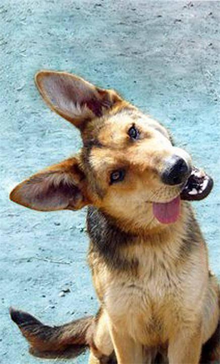 Зачем собаки наклоняют голову, когда слушают хозяина