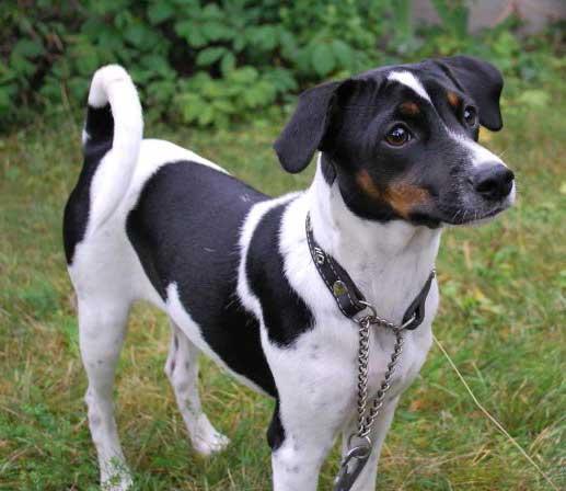 Датско-шведская фермерская собака — описание породы (с фото) | все о собаках