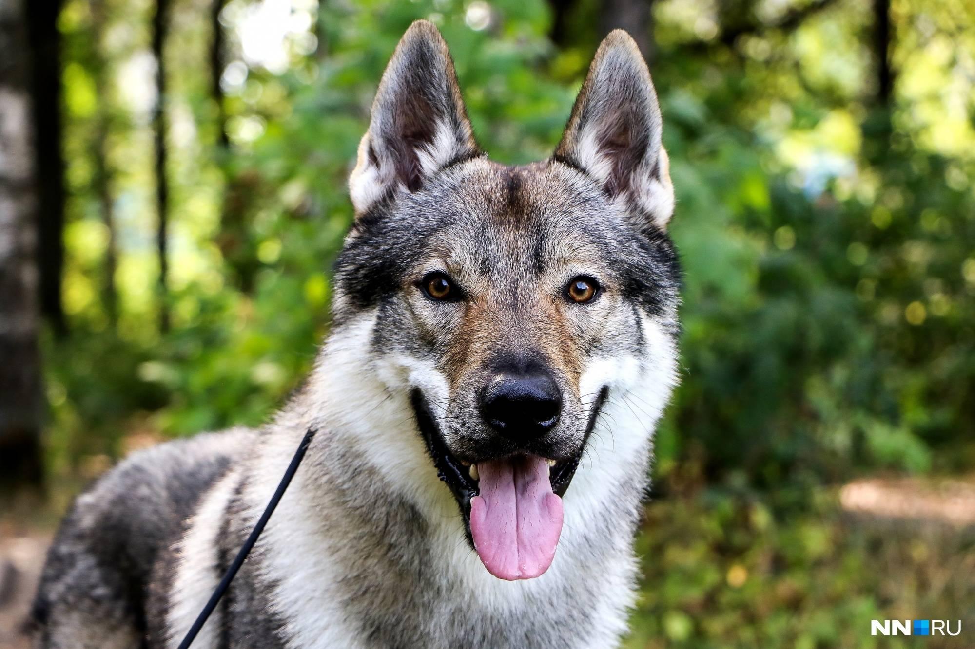 Чехословацкий влчак: описание породы,уход,содержание,питание,фото