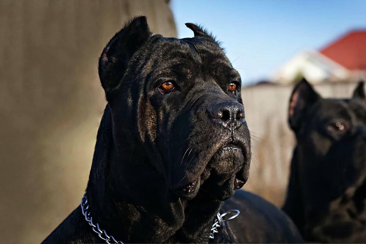 Кане-корсо: описание, характер собаки, плюсы и минусы, уход, фото