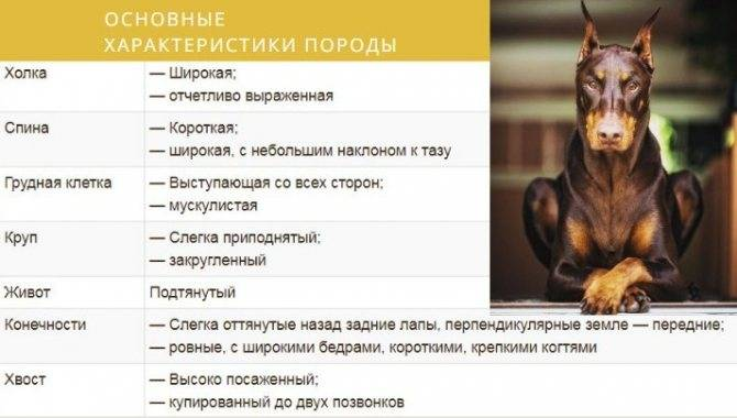 Немецкий пинчер — описание породы собак
