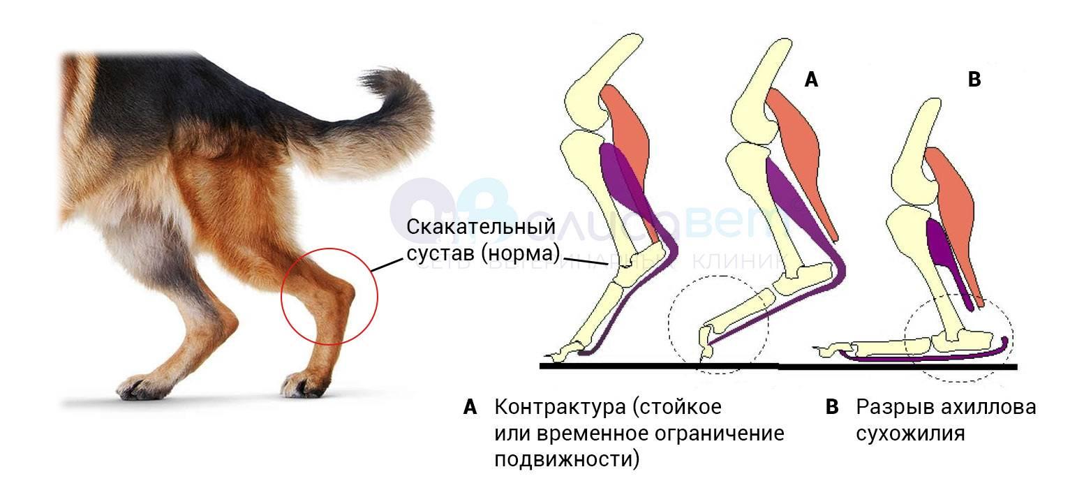 Кошка прыгнула и хромает. кошка хромает на заднюю лапу без видимых повреждений и трясет лапой или тянет ее назад