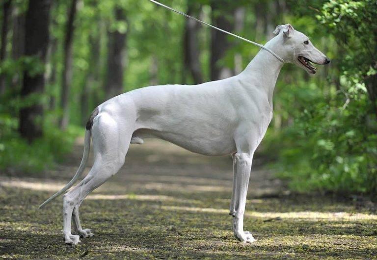 Грейхаунд (английская борзая): описание и фото породы   все о собаках