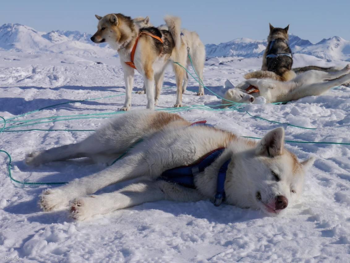 Гренландская собака: фото, описание породы, характер | все о собаках