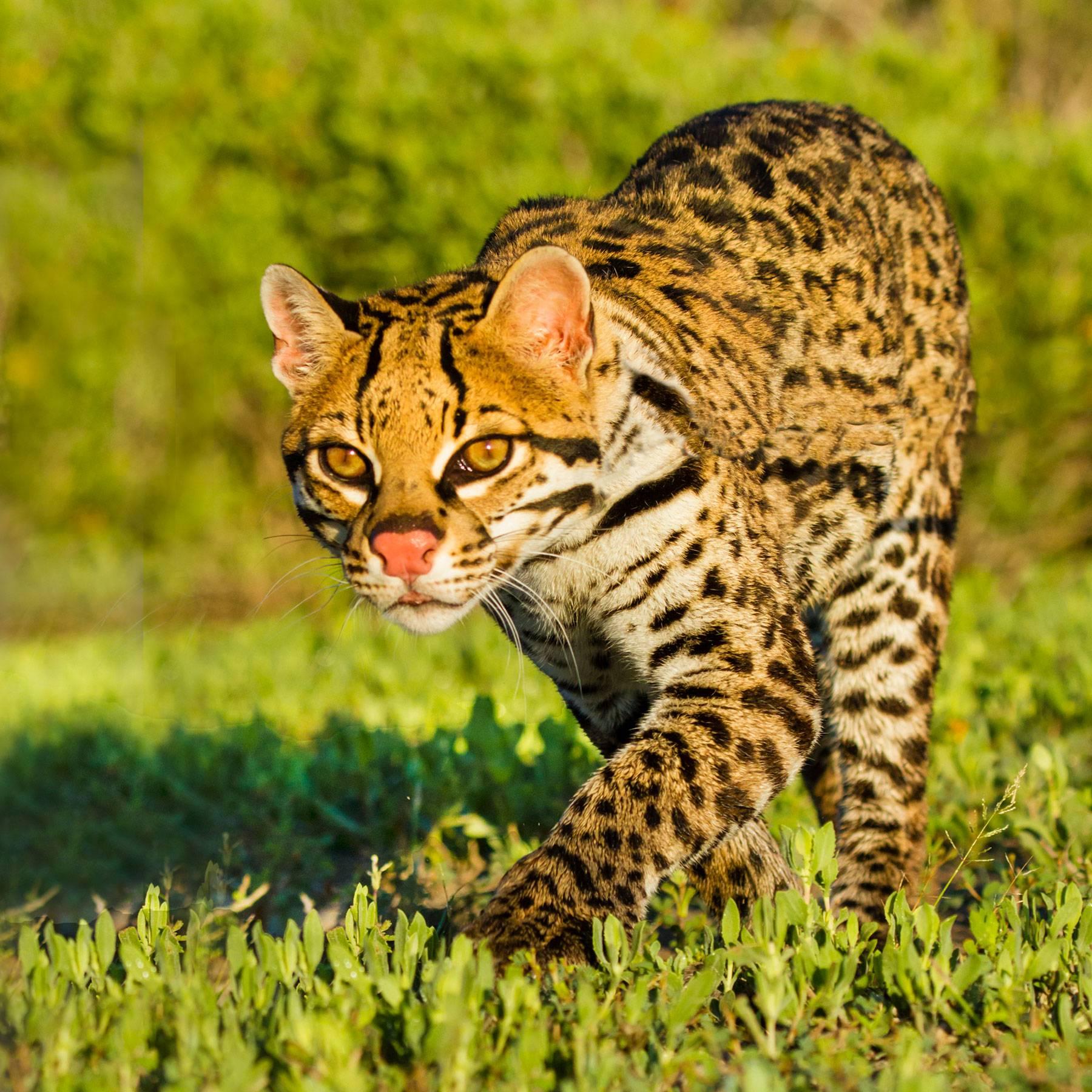 Дикая кошка оцелот: описание внешности и характера, образ жизни и ареал обитания кота, размножение и численность вида