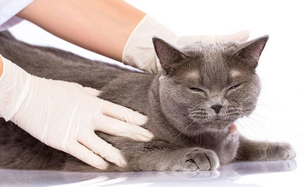 Отит у кошек симптомы и лечение в домашних условиях