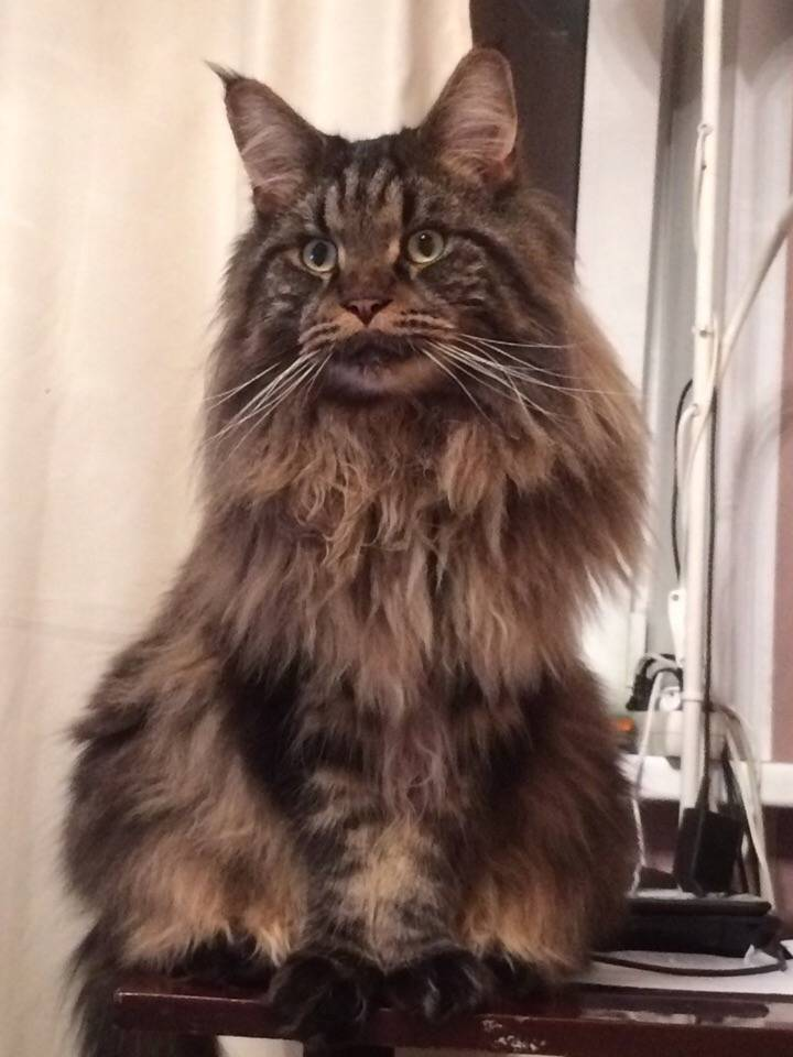 Почему не надо заводить мейн куна - сaramelcat