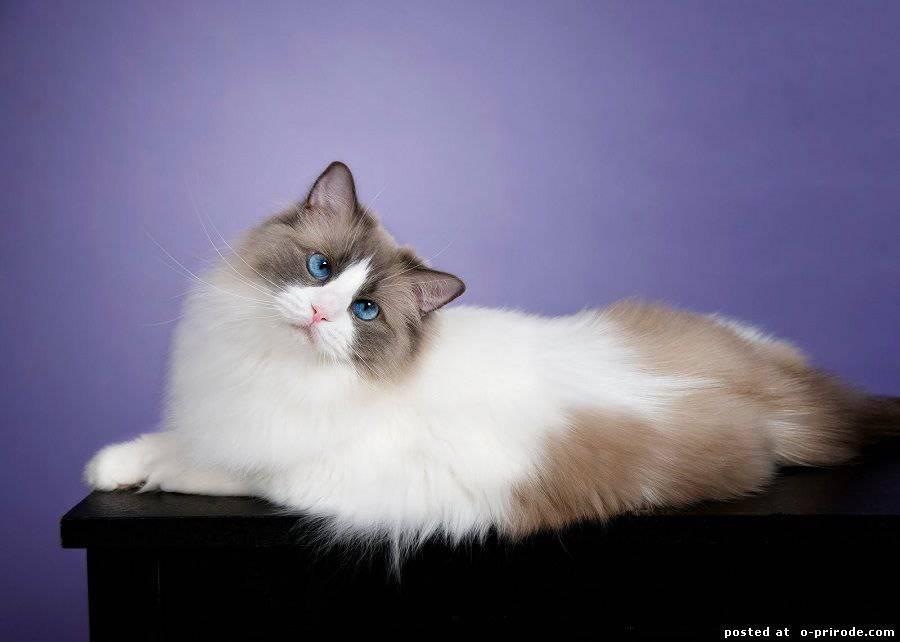 Рэгдолл – кошка «тряпичная кукла»