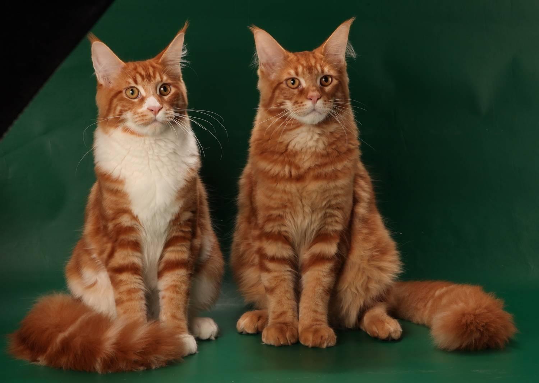 Метис кошка: основные варианты разнообразия помесей