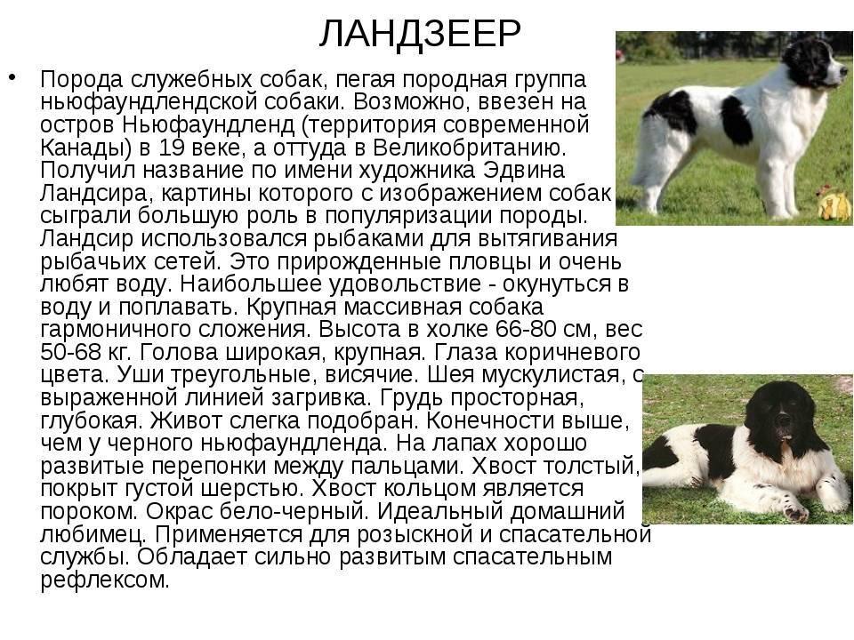 Подробное описание внешности и характера сенбернаров: особенности собак