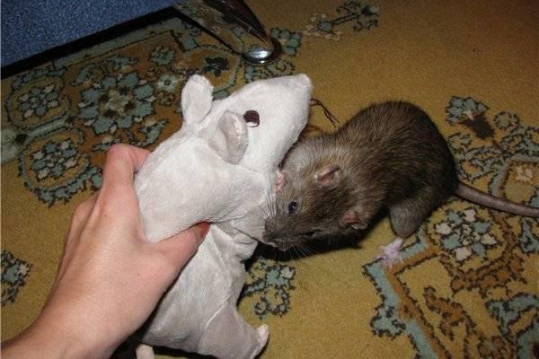 Как дрессировать крыс?