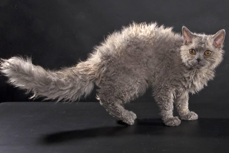 Самые популярные породы кошек: рейтинг известных котов