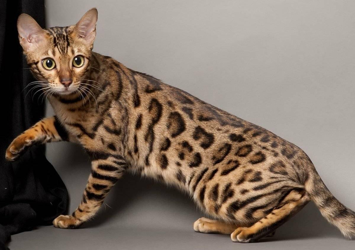 Короткошерстные породы кошек (75 фото): гладкошерстные породы котов с названиями. как вычесывать домашних котят разных пород?