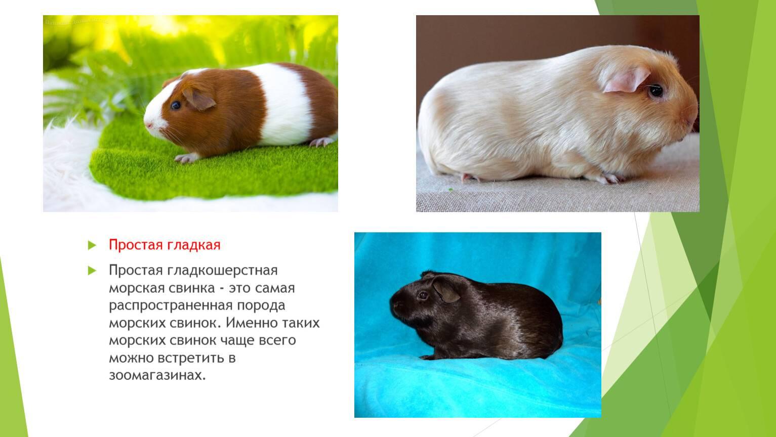 Продолжительность жизни морских свинок
