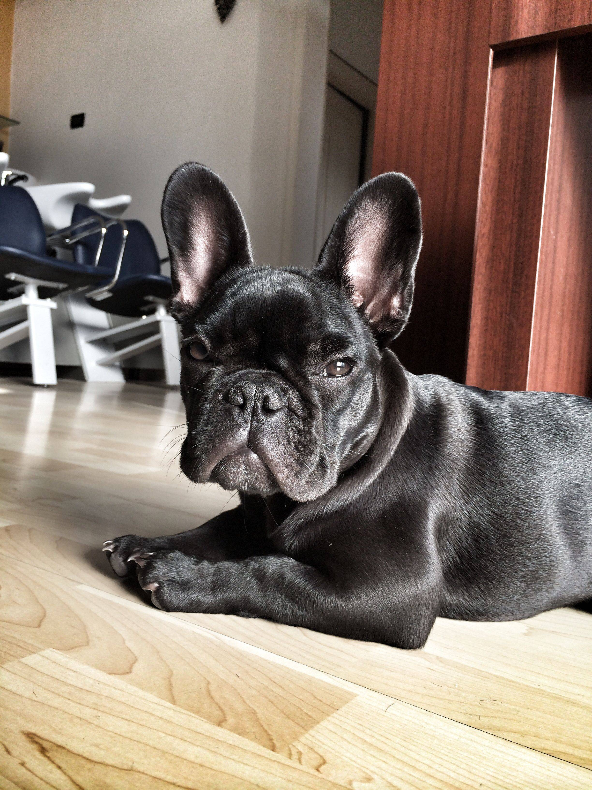 Французский бульдог: описание, характер породы, цена и фото щенков