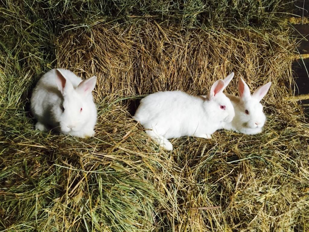 Новозеландский кролик (красный, белый): описание породы, фото
