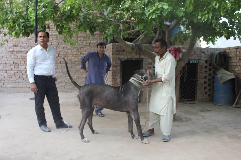 Гуль донг: фото, описание породы собак, характера, видео