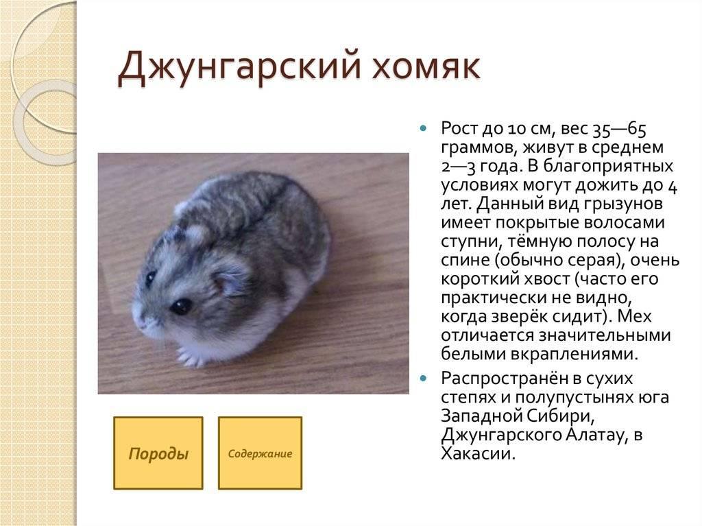Джунгарский хомячок (джунгарик): содержание, уход, размножение