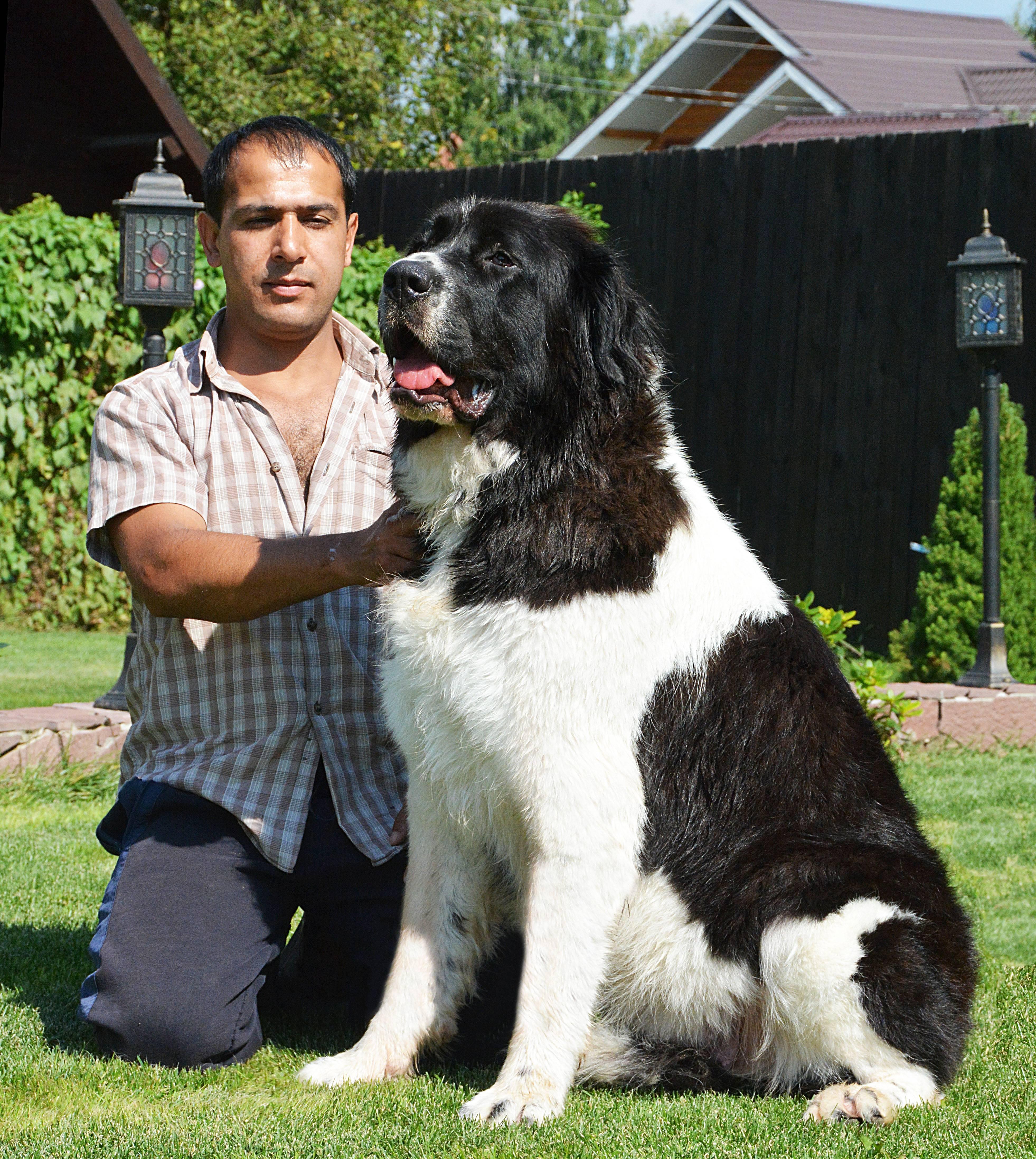 Болгарская овчарка или каракачанская собака ( bulgarian shepherd dog) – рабочая сторожевая собака, внимательная и независимая