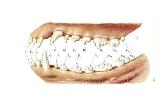 Строение зубов животных, болезни, лечение и профилактика
