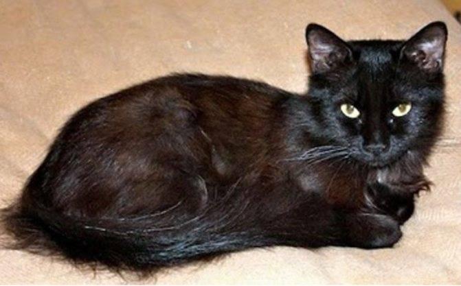 Йоркская шоколадная кошка — википедия. что такое йоркская шоколадная кошка