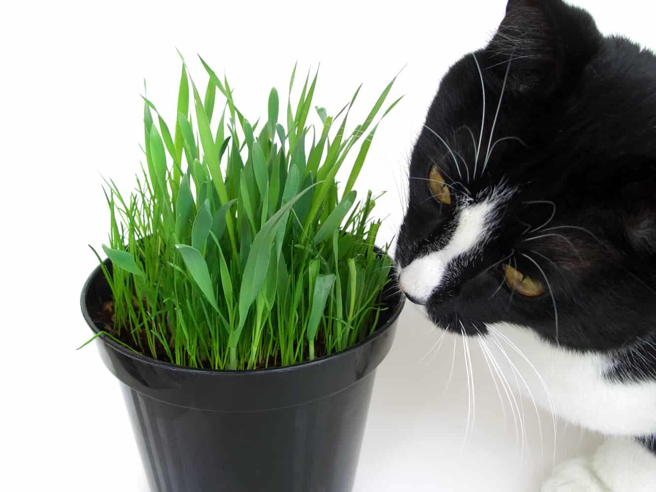 Зачем кошки едят траву?