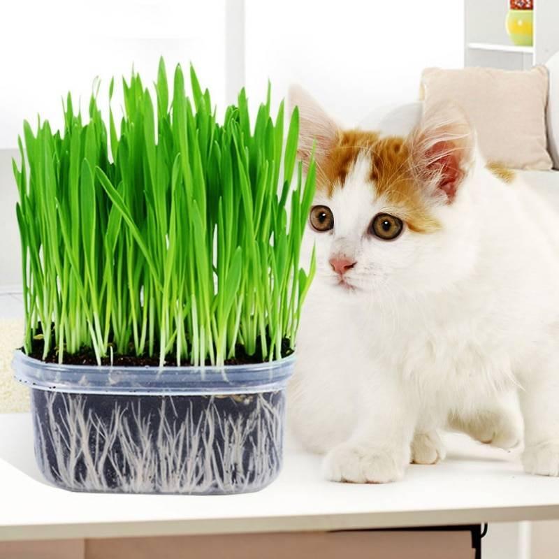 Трава для кошек: полезные свойства и виды растений, как посадить травку в горшке дома и ухаживать за ней