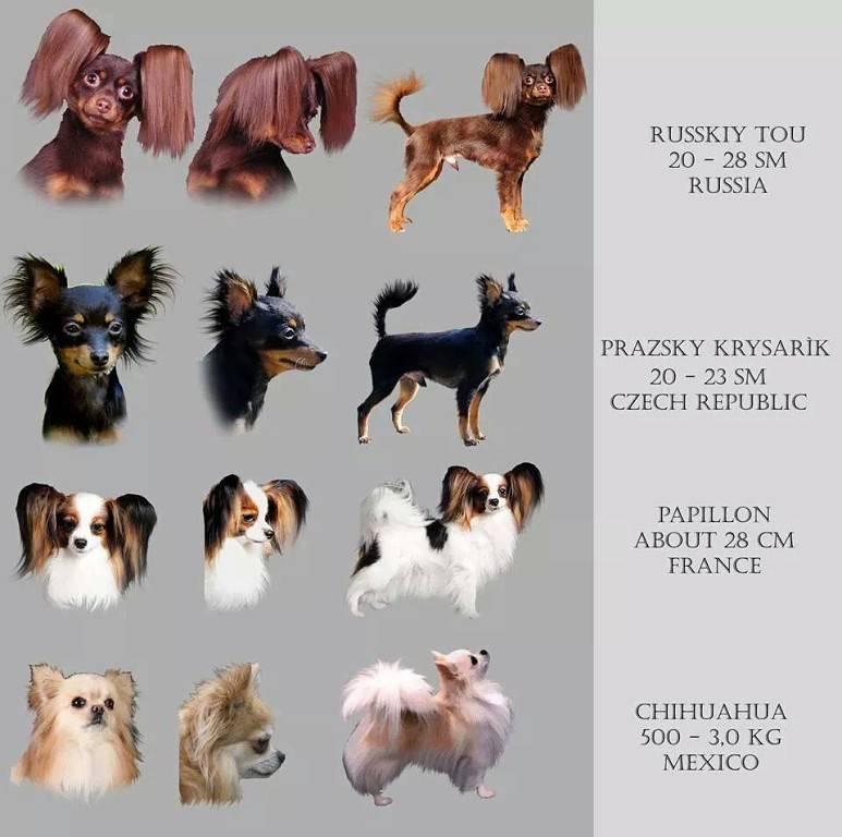 Собака чихуахуа: взрослые, короткошерстные, как выглядит, размеры