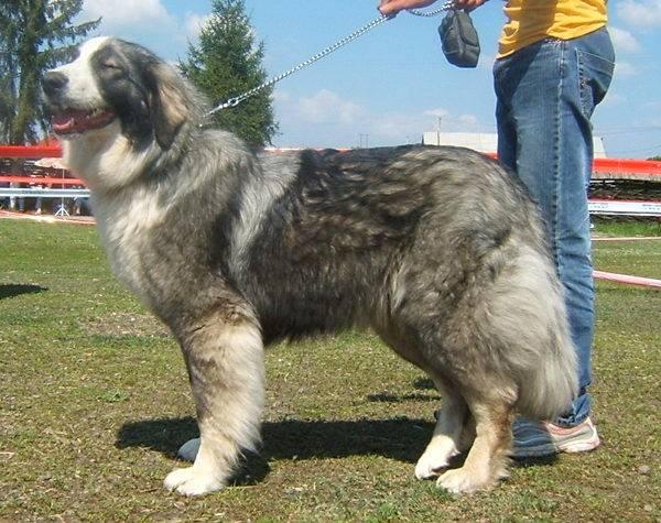 Румынская карпатская овчарка: описание породы, характер, фото | все о собаках