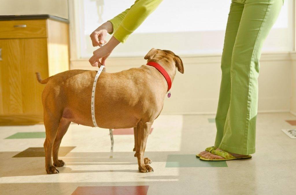 Как бороться с ожирением у собаки