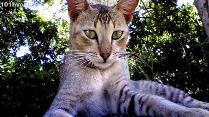 Цейлонская кошка: подробный обзор породы с фото и видео