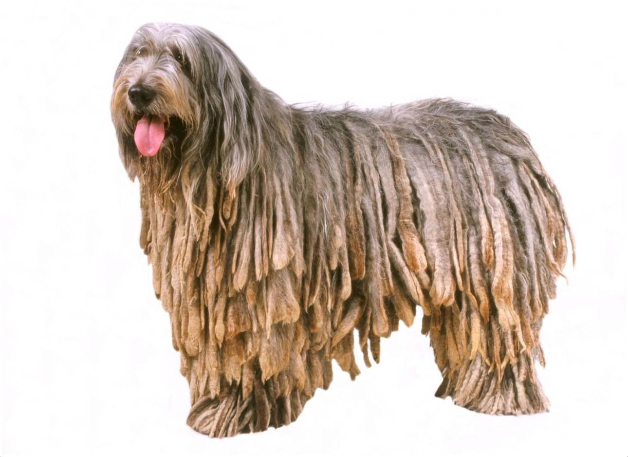 Порода бергамаско: описание, характеристика, характер и фото | все о собаках
